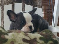 I have 3 puppies available. They will be ready at the