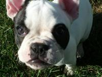 Sweet and loving female french bulldog. Up to date on