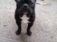 We have French Bulldog Female AKC black chocolate