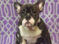 Roxy is an 8 nonth French Bulldog Mix (not sure what