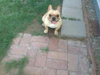 French bulldog females, eight weeks old, first shot,