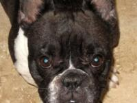 Maddie is a short and stocky female french bulldog. Her