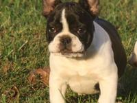 Meet Lucy! This spunky CKC Registered French Bulldog is