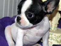 AKC French Bulldog Puppies! Born May 22, 2012 First