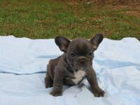 CH. PEDIGREED FRENCHIE (w/ SHOW POINTS) New Home &