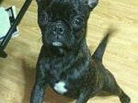 French Bulldog - Frenchie - Small - Baby - Female -