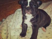Full blood French Bulldog puppies for sale, they will