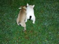 10 week old french bulldog puppies. 2 females left out
