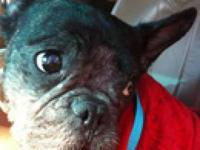 French Bulldog - Gusteau - Medium - Young - Male - Dog