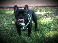 French Bulldog - Jenny - Medium - Adult - Female - Dog