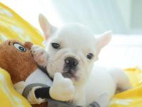 9 weeks old mini French bulldog he is short with super