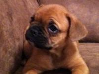 8 week old French bulldog male. Birthday 09/17/14. Has