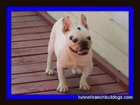 AKC French Bulldog Adult Male. White with choc. brindle