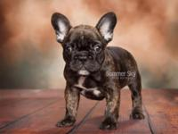 Handsome little brindle male available. He has the best
