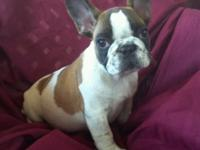 Definitely beautiful red pied French Bulldog guy new