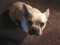 2 and a fifty percent year aged male french bulldog,