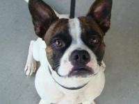 French Bulldog - Mason - Medium - Adult - Male - Dog If