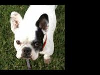 French Bulldog - Memphis - Small - Adult - Female -