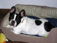 French Bulldog - Minerva - Medium - Senior - Female -