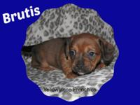 This handsome puppy Brutis is a French Bull Weiner. Dam