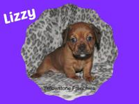 Lizzy is a French Bull Weiner puppy. Dam is an AKC 23