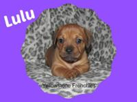 Lulu is a French Bull Weiner puppy. Dam is an AKC 23 lb