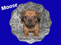 Moose is a French Bull Weiner puppy. Dam is an AKC 23