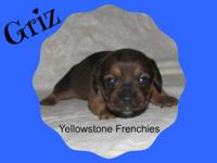 This handsome puppy Griz is a French Bull Weiner. Dam