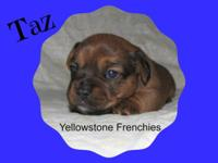 This handsome puppy Taz is a French Bull Weiner. Dam is