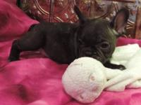 This adorable litter are French Bulldog mixed with
