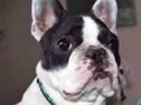 French Bulldog - Moon Pied - Small - Adult - Female -