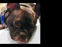 French Bulldog - Paix - Small - Young - Male - Dog Paix