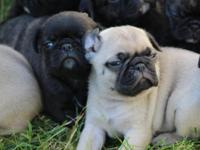 "We have beautiful French Bulldog - Pug ""Frug"" puppies"