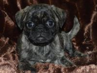We have lovely French Bulldog - Pug puppies readily