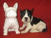 We have 2 beautiful, French Bulldog puppies for sale.