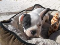 Our French Bulldogs are pure breed AKC Registered.