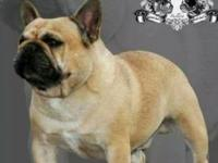 2 Male french Bulldog Puppies $1,800 each Great Show