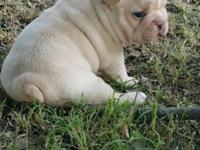 Akc registered French Bulldog puppies. 3 weeks old.