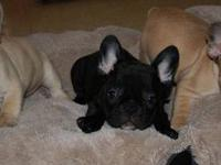 We have 3 French bulldog puppies that are 8 week. These