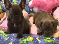 Gorgeous blue/chocolate French Bulldog puppies - 8