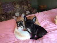 2 stunning little French Bulldog Puppies black one is a