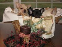 AKC French Bulldog puppies, Brindles 2 males -1 female.