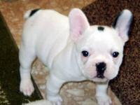 Beautiful white with black spots french bulldog