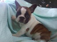 Absolutely adorable French Bulldog young puppies 7