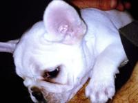 French bulldogs puppies akc reg This ad was posted with