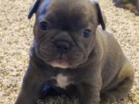 AKC champion line french bulldog puppies.  Will be