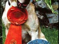 Gorgeous, Loving, AKC French Bulldog Female Puppy.