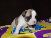 AKC FRENCH BULLDOG MALES AND FEMALES AVAILABLE AT THIS