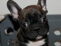 French Bulldog Puppies AKC registered! Absolutely