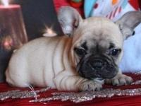 French Bulldog puppies,,adoption fee is $400,ONLY TEXT